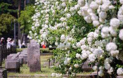 南京绣球花开坠枝头 最美人间四月天