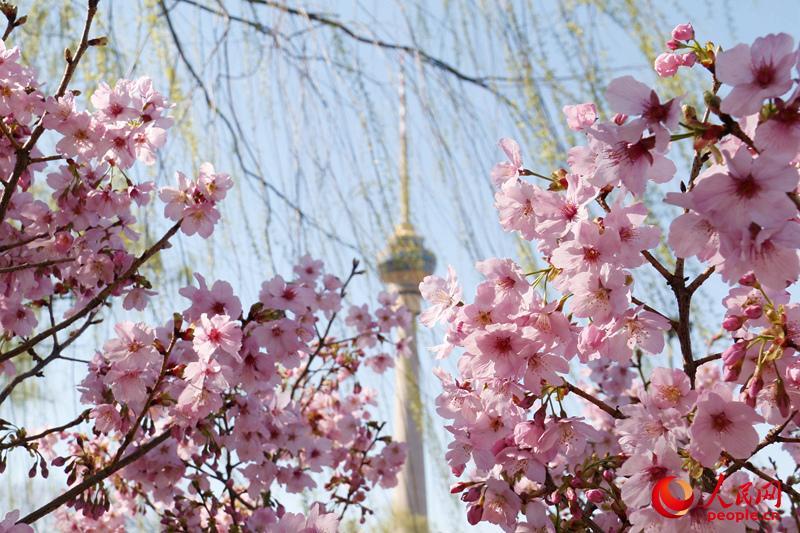 玉渊潭樱花在阳光下明艳动人,散发浪漫气息。(人民网 杨僧宇摄)