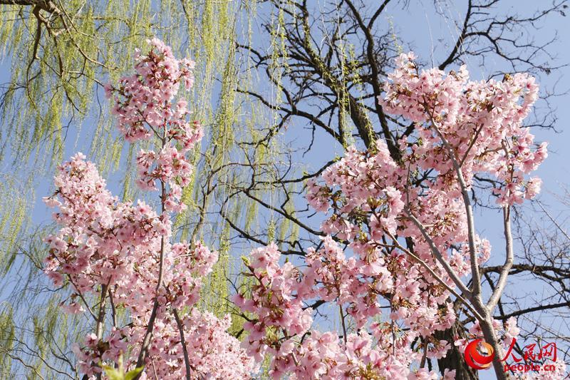 粉嫩的樱花花瓣点缀在蓝天绿柳之间。(人民网 杨僧宇摄)