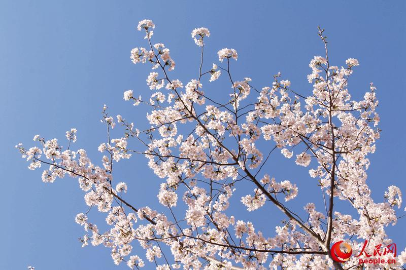 洁白的樱花在晴朗的蓝空中摇曳。(人民网 杨僧宇摄)